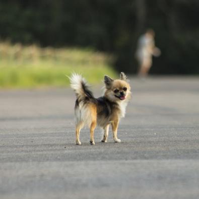 振り返る 犬